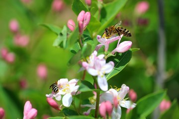 Розовые бутоны и цветы жимолости