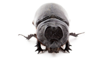 Female Rhinoceros beetle, Rhino beetle, Hercules beetle, Unicorn beetle, Horn beetle on white background