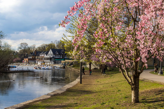 Cherry Blossoms in Bloom, Boathouse Row, Philadelphia, Pa.