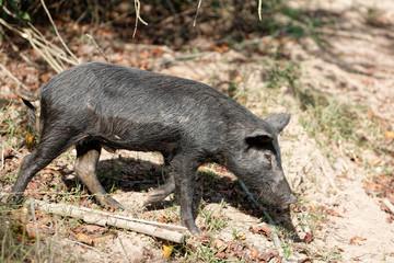 pécari appelé cochon bwa en Guyane française