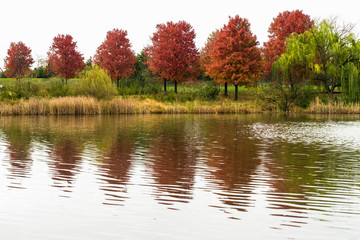 Red trees at the pond