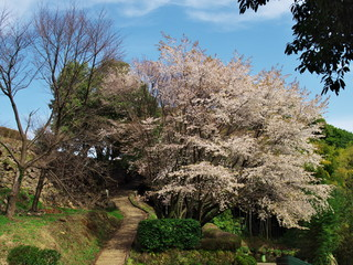 Cherry blossoms at Ichiya castle park