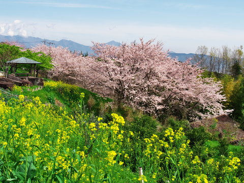 Cherry blossoms at Ichiya castle park