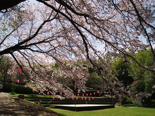 Cherry blossoms at Arai castle park