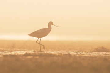 Pied avocet in the fog