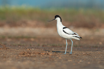 Pied avocet (Recurvirostra avosetta) stands on a ground
