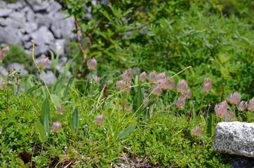 木曽駒ヶ岳に咲く花