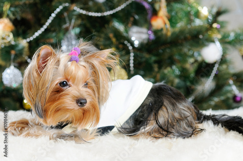 Cute Yorkshire Terrier In Front Of Christmas Tree Stock Photo And