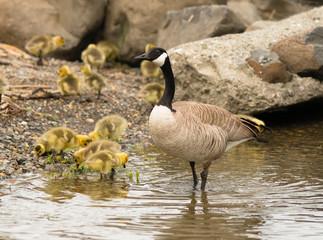 Goose mother Huddled Together Near Chicks Babies