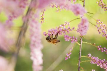 Wallpaper Macro of Bee Working on Pink Flower, Blur Background