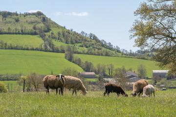 troupeau de moutons en pâture