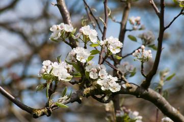 Apfelbäume, Frühling im Obstgarten