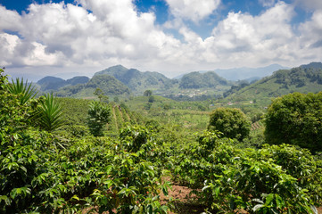Coffee plantations in the highlands of western Honduras with the crop ready to be harvested