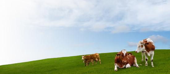 Cow herd grazing on green meadow.