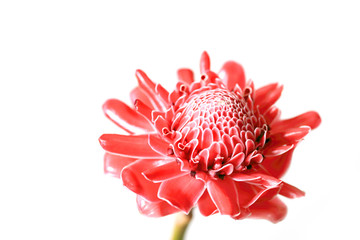 Red Torch Ginger flower on white background.