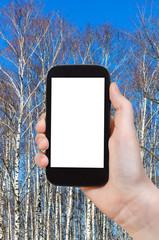 tourist photographs bare birch trunks and blue sky