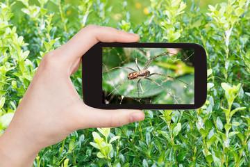 farmer photographs spider on cobweb on boxwood