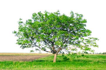 European walnut (Juglans regia)