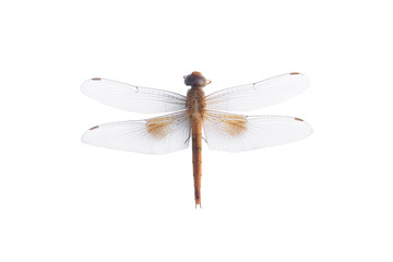 Dragonfly on a white background