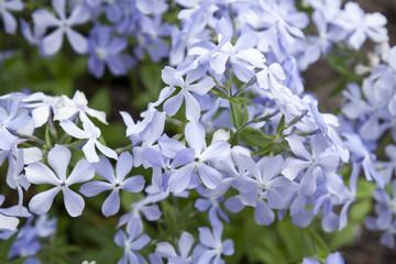 Fresh blue phlox in the garden, sunny day