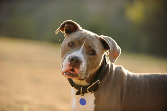 American Pit Bull Terrier wearing collar and blue tag