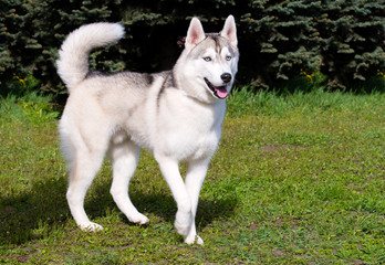 Husky stands.  The husky is on the green grass.