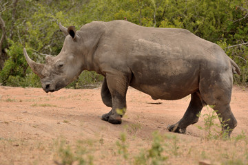 Large lone African White rhinoceros ambling along in their sluggish gate