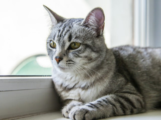 The attractive gray cat looks around