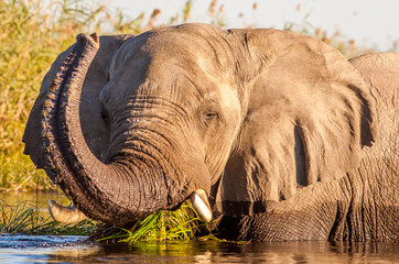 Wall Mural - Wild African Elephant in the water