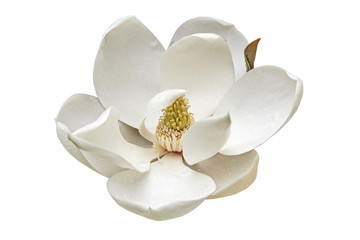 Wall Murals Magnolia Southern magnolia flower