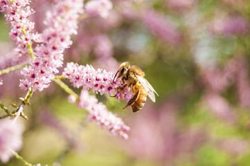 Wallpaper Bee pink flowers