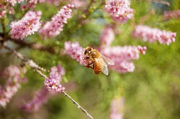 Walpaper Bee on pink Fowers behind view