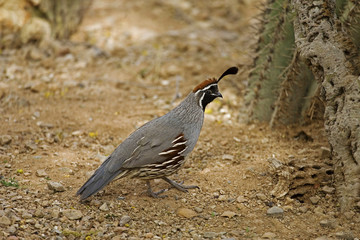 Male Gambels Quail, Callipepla gambelii in desert