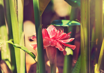 Large exotic pink flower growing in the tropics