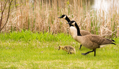 Goose Parents Stands By Offspring Coming Ashore to Rest