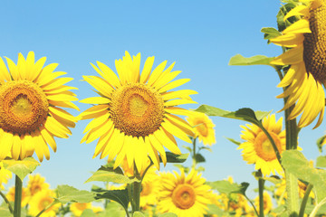 Sunflowers in the field, ourdoors