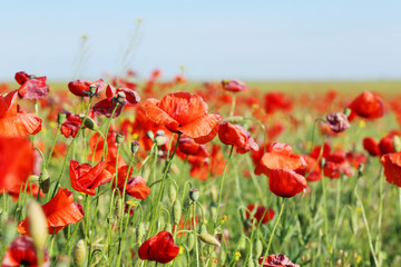 Foto op Plexiglas Klaprozen Red poppy flowers field, close up