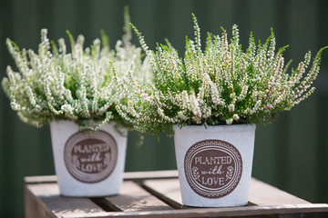 Outdoor decor with Heather plants in decorative pots