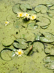 Water lilies in pond covered with algae