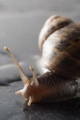 Chiocciola zigrinata  isolata che striscia su un ripiano