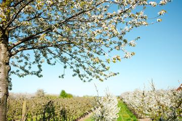 Äpfeln im Alten Land