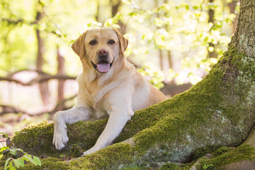 Labrador auf Baumstamm