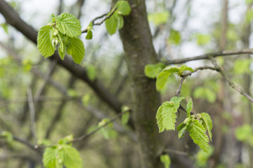 fresh green leaves of a tree hazels