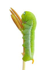 Green caterpillar crawls on treetop isolated on white