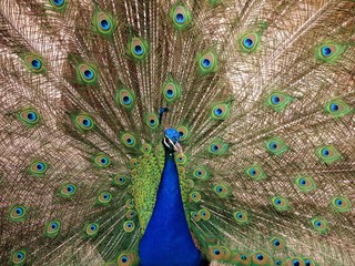 Peacock with the opened tail