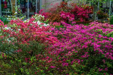 Bush with pink azalea flowers, Keukenhof Park, Lisse in Holland