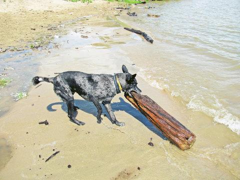 Gray shepherd pulling a log