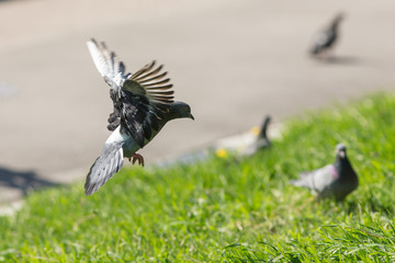 pigeon lands on the grass