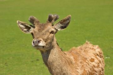 Poster de jardin Kangaroo young deer