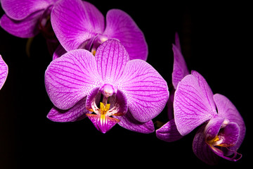 Purple flower orchidea